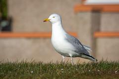 Photo of European Herring Gull (Larus argentatus argenteus )