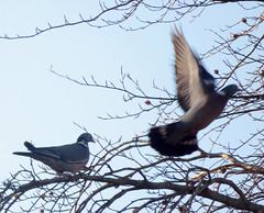 Photo of Pigeons 1