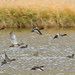 Tufted Duck (Aythya fuligula) & Gadwall (Anas strepera)