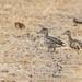 Common Teal (Anas crecca)