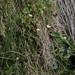 bog star, Parnassia palustris