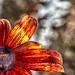 Stratford Ontario ~ Canada ~  Daisey  ~ Shakespearean  Garden Botanical  ~ Heritage