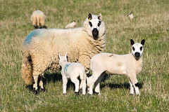 Photo of Lambs, Maulden Woods, Bedfordshire