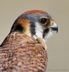 March 24, 2020 - A male American kestrel up close. (Bill Hutchinson)