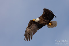 March 22, 2020 - A bald eagle brings home some nesting material. (Tony's Takes)