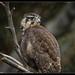 Brown Falcon: The Studio Werkz Series