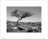 hamspfell tree 3s