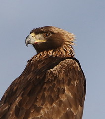 March 26, 2020 - Very handsome golden eagle.  (Bill Hutchinson)