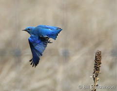 March 24, 2020 - Mountain bluebird takes flight.  (Bill Hutchinson)