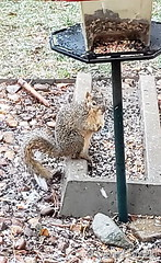 March 19, 2020 - A thief at a bird feeder. (David Canfield)