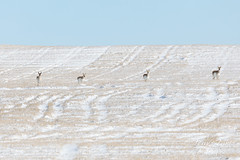 March 21, 2020 - Pronghorn on the snow-covered plains. (Tony's Takes)
