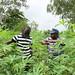 Researchers inspecting cassava field in Togo
