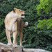 Lioness on the log, with a funny face