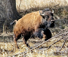 March 24, 2020 - Bison on the run.  (Bill Hutchinson)