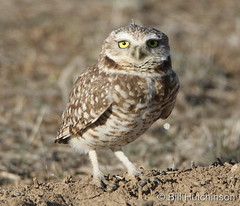 March 26, 2020 - Burrowing owl hanging out.  (Bill Hutchinson)