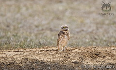 March 25, 2020 - First of the season burrowing owls. (Jessica Fey)