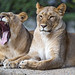 Two sisters, one yawning
