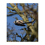 Long-tailed tit - Thunderley, Essex