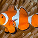 False Clown Anemonefish - Amphiprion ocellaris