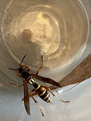 Northern paper wasp; Polistes fuscatus