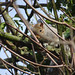 Grey squirrel, 2020 Mar 21