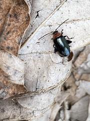 Red-headed flea beetle; Systena frontalis