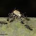Adoxini beetle.
