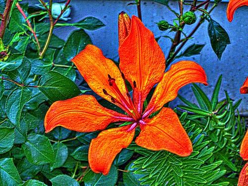 Toronto Ontario ~ Canada ~ Edwards Gardens ~ Botanical Garden ~ Open Petals Tulip - HDR