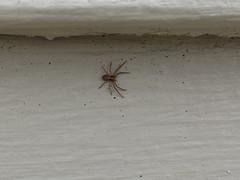 Philodromidae crab spider