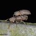 A Stenochinus beetle pair in cop