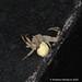 Crab spider. Thomisidae: Ebrechtella tricuspidata