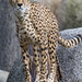 Cheetah standing on the log