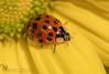 Ladybird 🐞