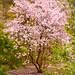 magnolia in dumbarton oaks