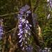 Cecilia's wisteria