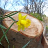 Daffodil and tree, near Longcroft