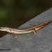 Sphenomorphus indicus