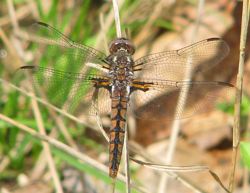 Blue corporal, immature female - one of foty