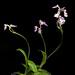 [Yakushima Island, Kagoshima, Japan / 鹿児島県屋久島] Ponerorchis lepida 'Yakushima' (Rchb.f.) X.H.Jin, Schuit. & W.T.Jin, Molec. Phylogen. Evol. 77: 51 (2014)