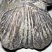Platystrophia ponderosa (fossil brachiopod) (Grant Lake Formation, Upper Ordovician; south of Excello, Ohio, USA) 2