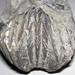 Platystrophia ponderosa (fossil brachiopod) (Grant Lake Formation, Upper Ordovician; south of Excello, Ohio, USA) 1