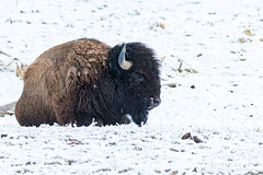 March 28, 2020 - A bison bull in the snow. (Tony's Takes)