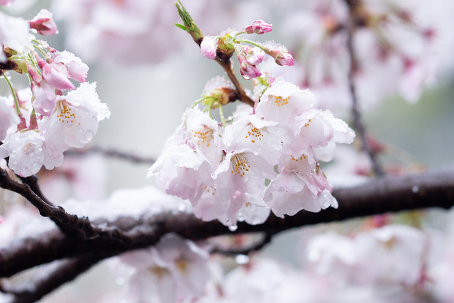 雪と桜 05