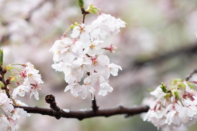 雪と桜 04