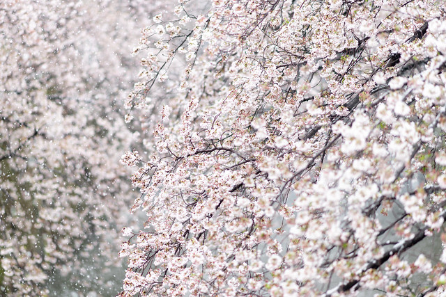 雪と桜 03