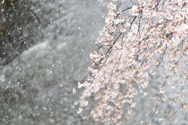 雪と桜 02