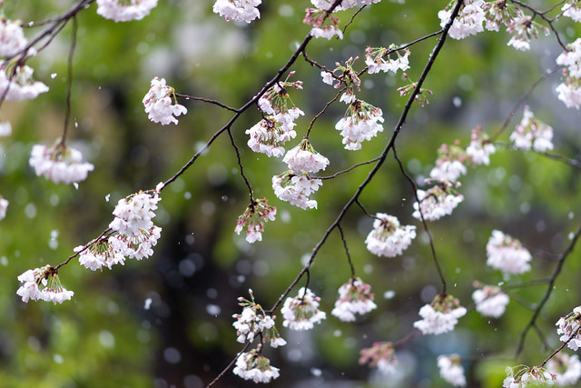 雪と桜 01