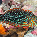 Ornate Leopard Wrasse, early initial phase - Macropharyngodon ornatus