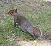 Grey Squirrel #3