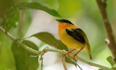 Orange-collared Manakin (male)